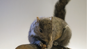 https://genomicgastronomy.com/wp-content/uploads/2016/03/InvasivorismSquirrel-300x170.png